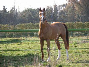 Foto de caballo suelto en libertad. Estoico de Anciles