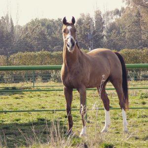 caballo estoico de anciles. coco. natalia mendez de valle. nmv horses