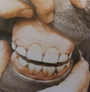dientes caballo joven