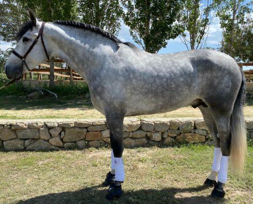 Duero La Bellota caballo PRE en venta NMV Horses