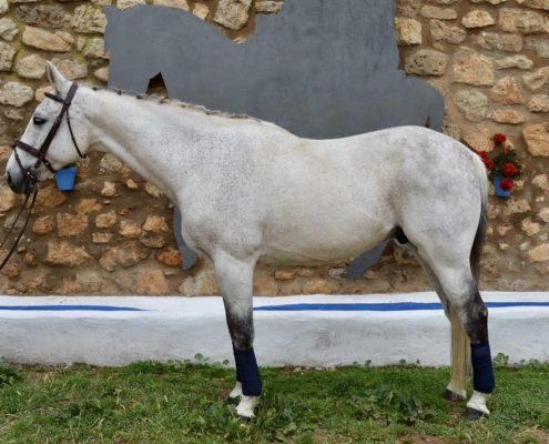 Quadrige de Fraigneau caballo de salto en venta NMV Horses