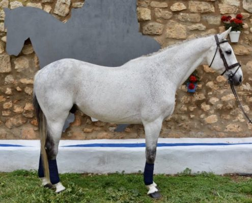 Quadrige de Fraigneau caballo de salto en venta NMV Horses hipica