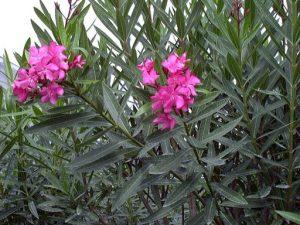 plantas toxicas para caballos adelfa